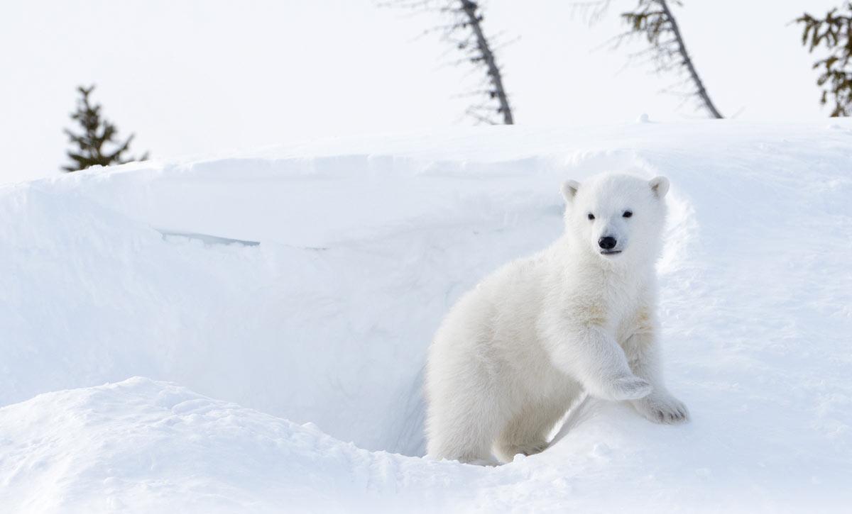 Eläinpuisto Talviopas jääkarhu